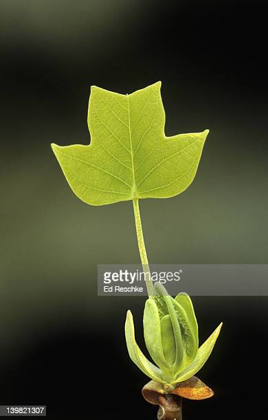 Photosynthesis. Tuliptree or Yellow Poplar, Liriodendron tulipifera. Large showy flowers resembling tulips. One of the tallest and most beautiful eastern hardwood. Michigan