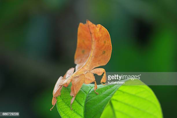 Phyllium insect on a leaf, Indonesia