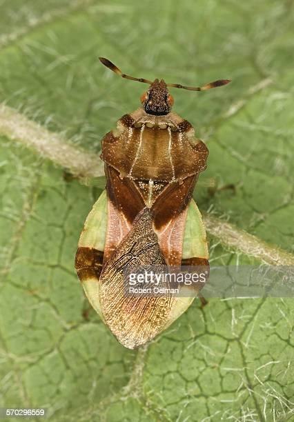 Phymata sp.II