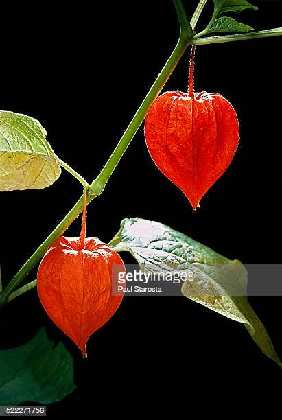 physalis alkekengi (bladder cherry, chinese lantern, japanese-lantern, strawberry groundcherry, winter cherry) - fruit - ホオズキ ストックフォトと画像
