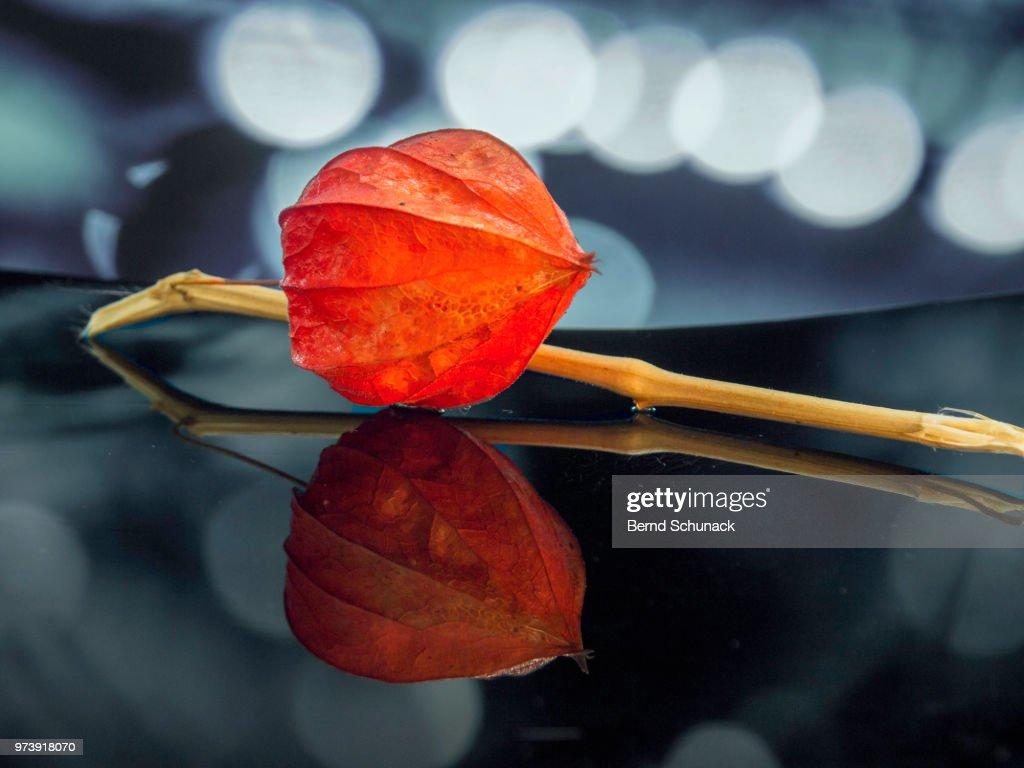 Physalis - Chinese Lantern : Stock Photo