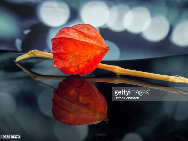 physalis - chinese lantern - bernd schunack stock pictures, royalty-free photos & images