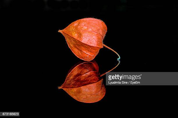 physalis with reflection against black background - ホオズキ ストックフォトと画像