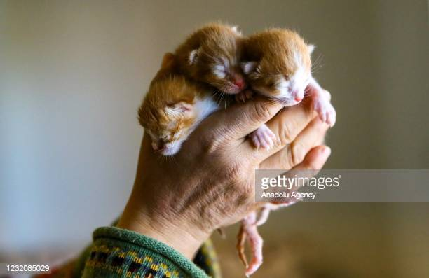 "Physics teacher Ulku Ercan Sariciftcioglu, holds her adopted orphaned kittens fostered by her 8 year-old Yorkshire dog ""Lady"" as she studied two-year..."