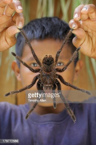 piaora boy holds huge goliath tarantula spider high-res stock photo