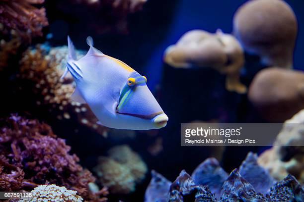 Picasso Triggerfish (Rhinecanthus assasi)