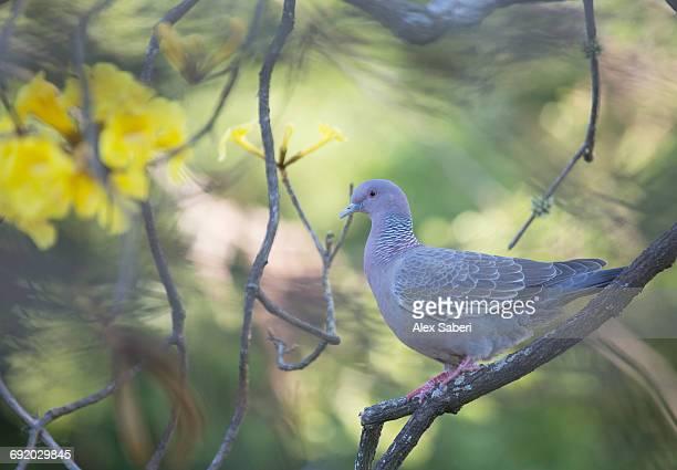 picazuro pigeon, patagioenas picazuro, perching on a tree branch in sao paulos ibirapuera park. - alex saberi fotografías e imágenes de stock