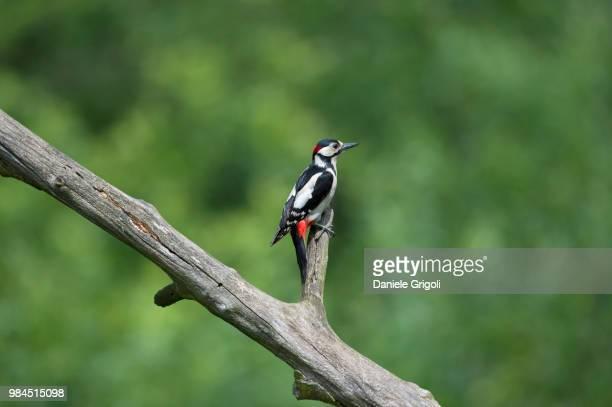 #picchio #rosso #maggiore #woodpecker - pica pau malhado grande - fotografias e filmes do acervo