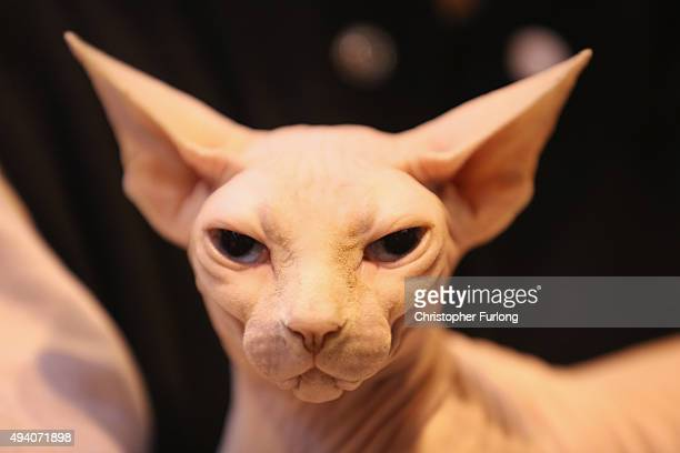 Pickaboo, a Blue Eyed White Sphinx, waits to be judged at the Governing Council of the Cat Fancy's 'Supreme Championship Cat Show' at the NEC Arena...