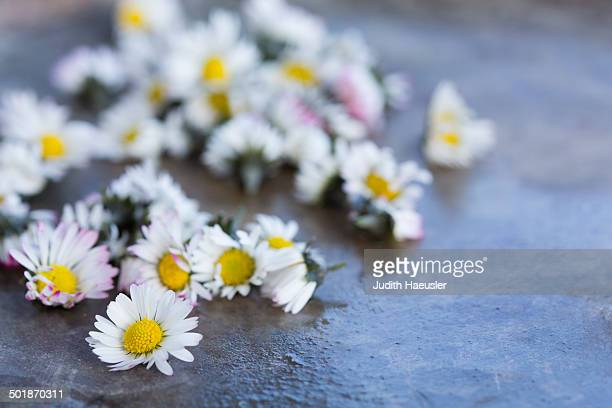 Picked daisy (Bellis perennis) flower heads. Used in herbal medicine