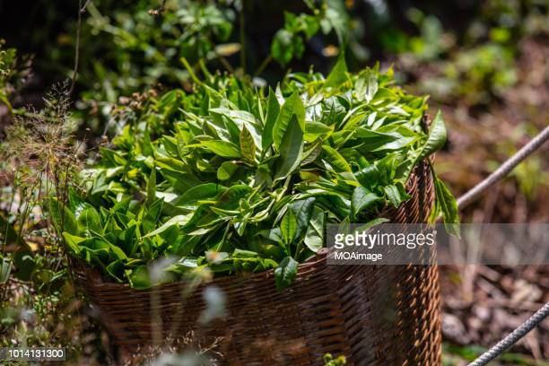 picked tea leaves in the basket - camellia sinensis stock photos and pictures