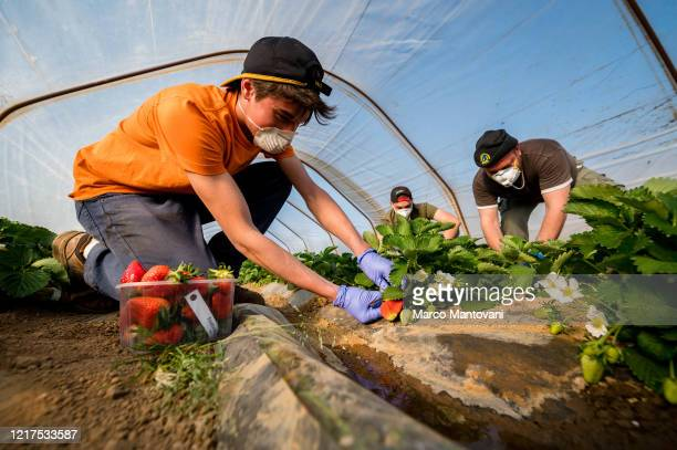 Pickers gather strawberries in a greenhouse wearing protective masks on April 08 2020 in Casteldidone Italy There have been well over 100000 reported...