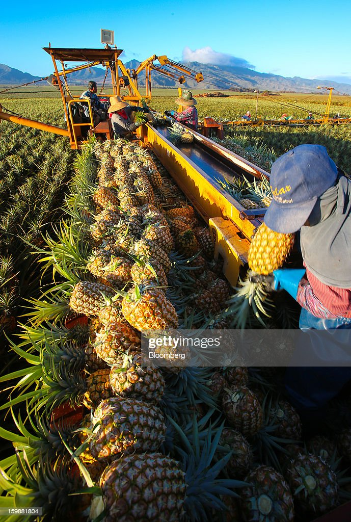Pickers load pineapples onto a conveyor belt at the Dole Food Company Inc. plantation in Wahiawa, Hawaii, U.S., on Thursday, Jan. 17, 2013. Dole Food Company Inc. has evolved from a Hawaiian pineapple purveyor into the world's largest producer of fresh fruit and vegetables. Photographer: Tim Rue/Bloomberg via Getty Images