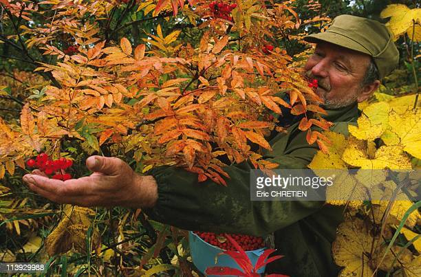 Picking Alis Kamtchatka In Russia In 1999Vitaly picking sorbs to make jamThis berry is the bear's favourite since it is very abundant here