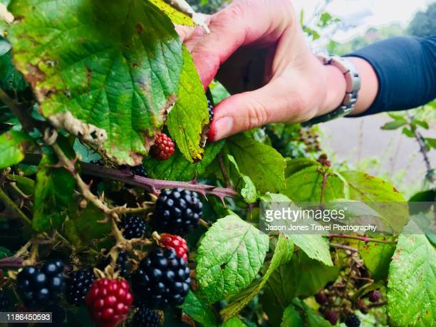 picking blackberries - fruit stock pictures, royalty-free photos & images