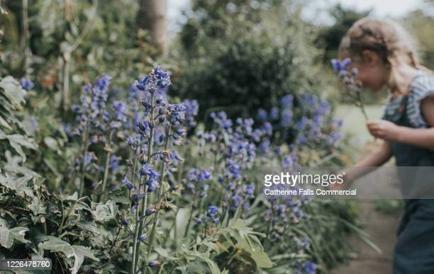 picking bluebells - choosing stock pictures, royalty-free photos & images