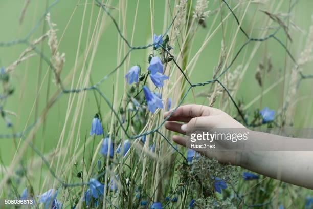 picking bluebells through a fence - フィンノイ ストックフォトと画像