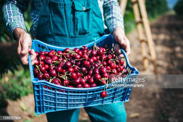 picking cherries. - cherry stock pictures, royalty-free photos & images