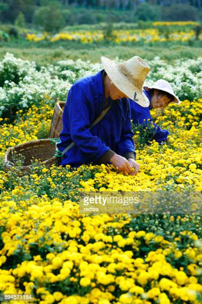 Picking Chrysanthemums for tea in China
