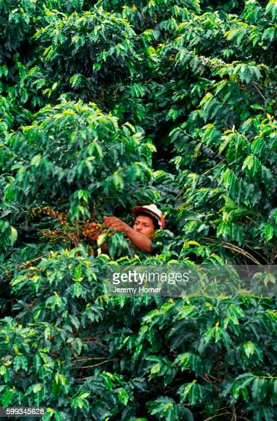 Picking Coffee Beans, Colombia