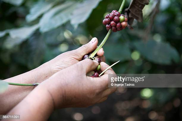 Picking coffeebeans
