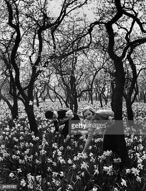 Picking daffodils at an orchard in Staines Middlesex