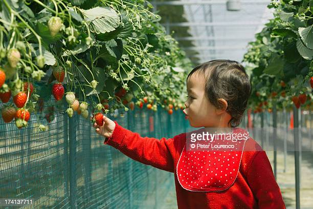 picking fruit - peter lourenco stock pictures, royalty-free photos & images