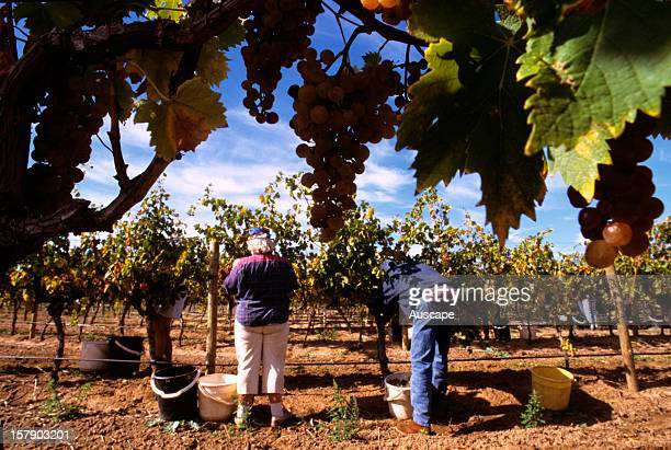 Picking grapes Barossa Valley South Australia