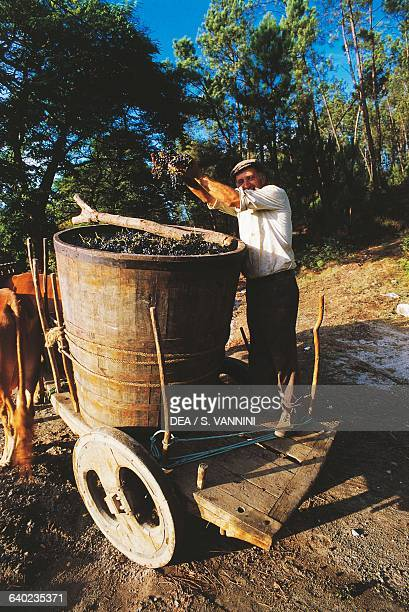 Picking grapes during the harvest Ponte da Barca Viana do Castelo Portugal