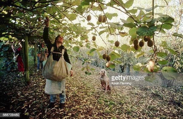 Picking Kiwi Fruit