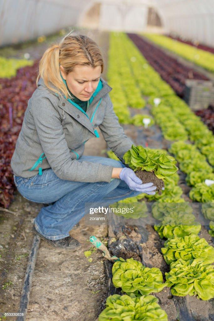 Picking lettuce : Stock Photo