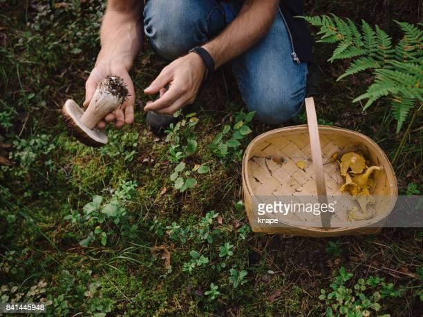 de paddestoelen plukken in het bos - plukken stockfoto's en -beelden