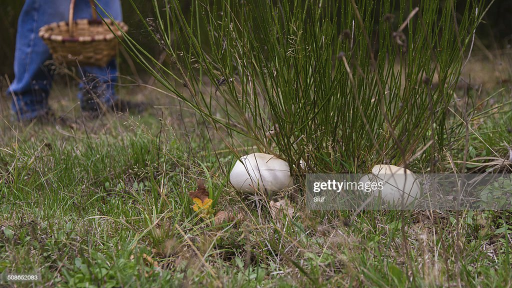 Picking Mushrooms - Recogiendo Setas Champiñones : Stock Photo