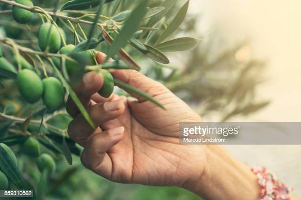 picking olives - green olive stock photos and pictures