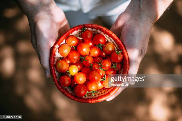 picking organic cherry tomatoes - middle east stock pictures, royalty-free photos & images