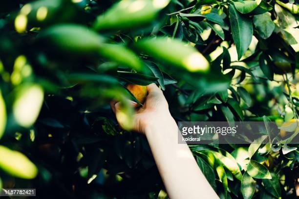 picking organic oranges from the tree - orange farm - fotografias e filmes do acervo