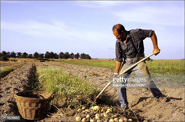 Picking potatoes of Noirmoutier in Noirmoutier Island in Ile de Noirmoutier France on October 17th 2005
