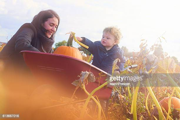 picking pumpkins - pumpkin harvest stock pictures, royalty-free photos & images