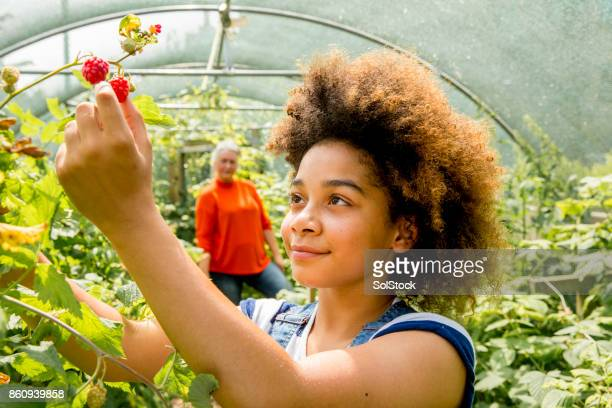 picking raspberries at the farm - cultivated land stock pictures, royalty-free photos & images