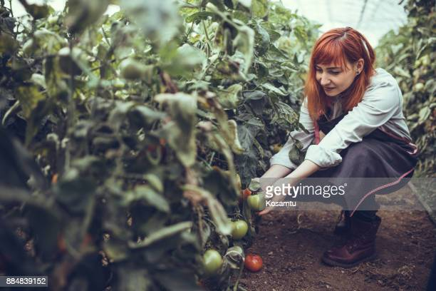Cosecha de tomates orgánicos maduros