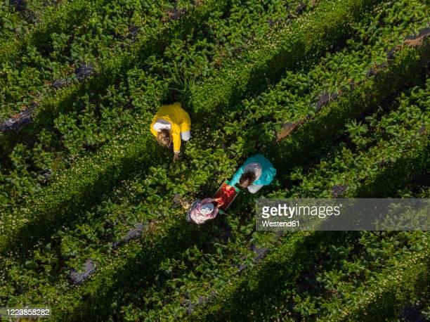 picking strawberries on a field - colher atividade agrícola - fotografias e filmes do acervo