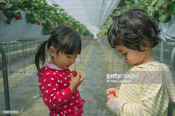 picking strawberries together - peter lourenco stock pictures, royalty-free photos & images