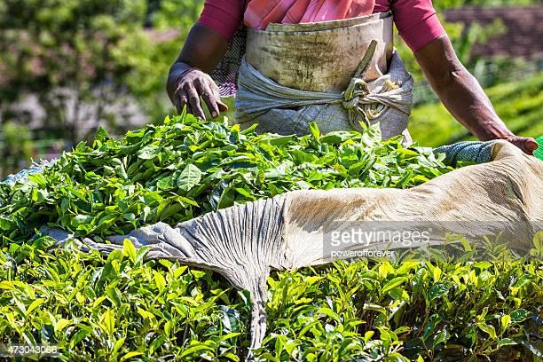 Picking Tea at Plantation in Munnar, India