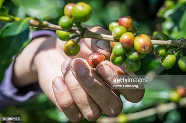 Picking the bean