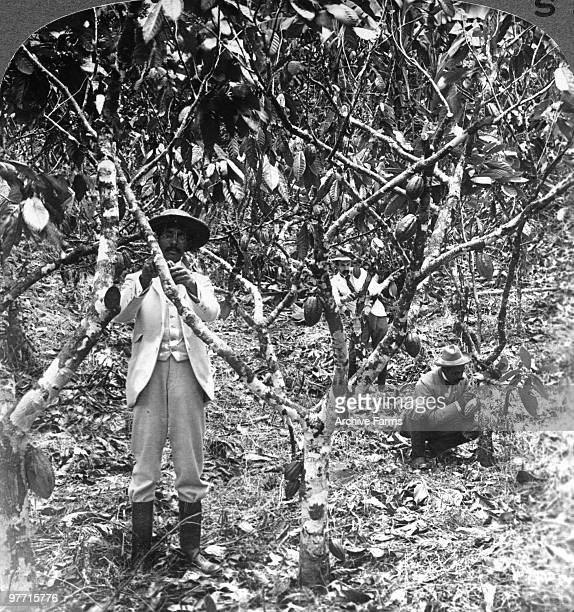 Picking the pods of the chocolate cocoa Jamaica West Indies