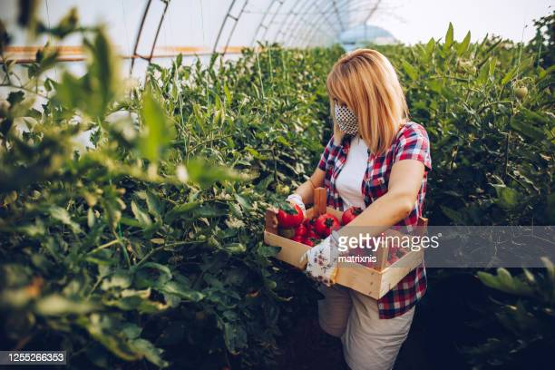 picking tomatoes for my customers - matrixnis stock pictures, royalty-free photos & images