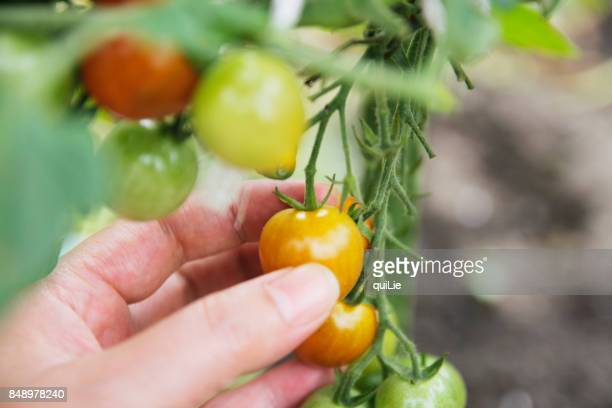 Picking tomatoes