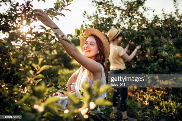 het oppakken van kersen in de boomgaard - orchard stockfoto's en -beelden