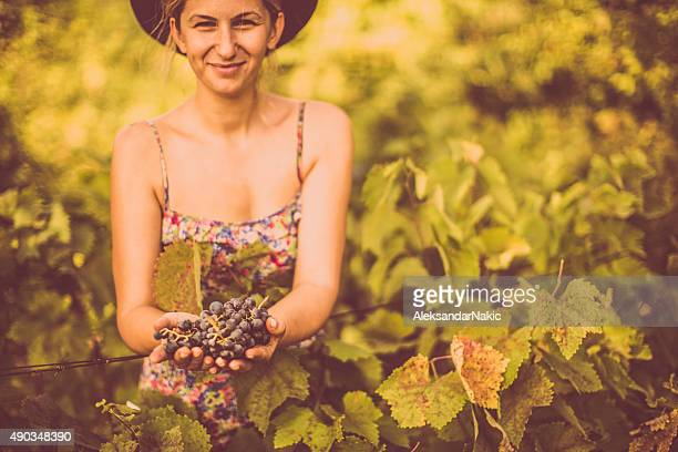picking up the grapes - grape harvest stock pictures, royalty-free photos & images