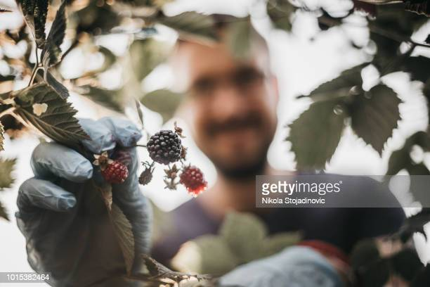 wilde bessen plukken in het bos - foerageren stockfoto's en -beelden